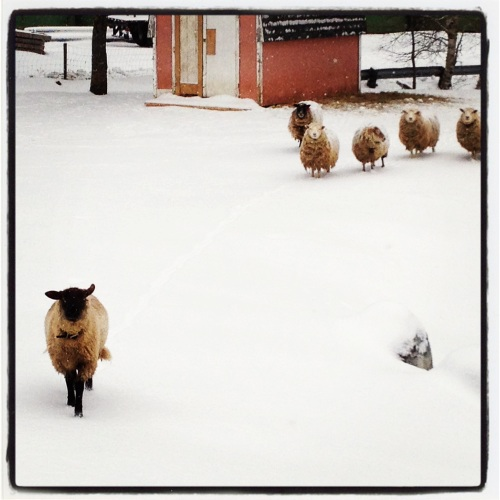 Sheep three