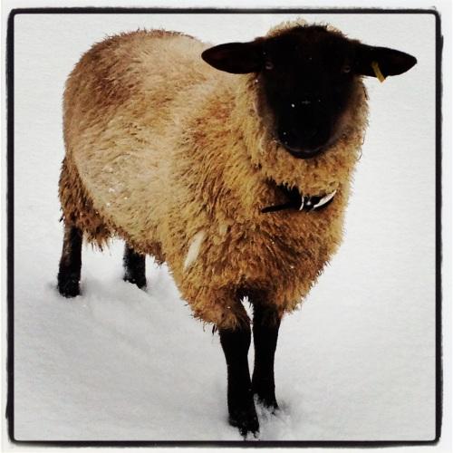 sheep two
